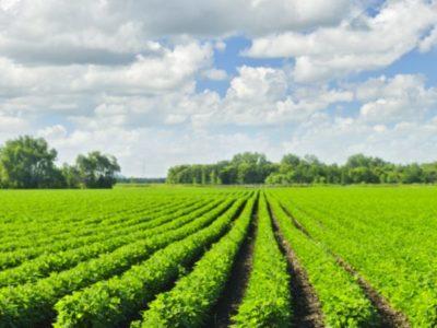 Rows of soy plants in a field